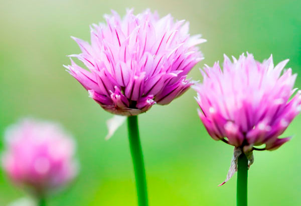 Chives cropped