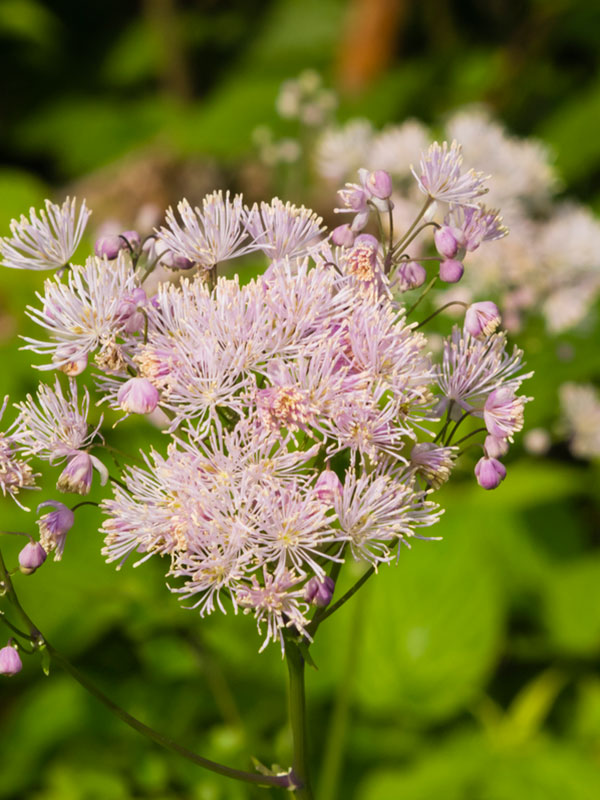 Columbine Meadow Rue