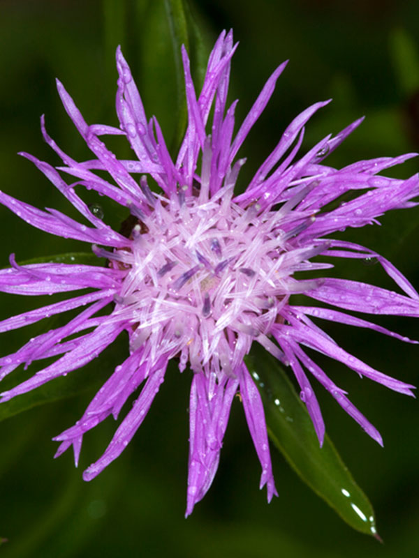 Purple Knapweed