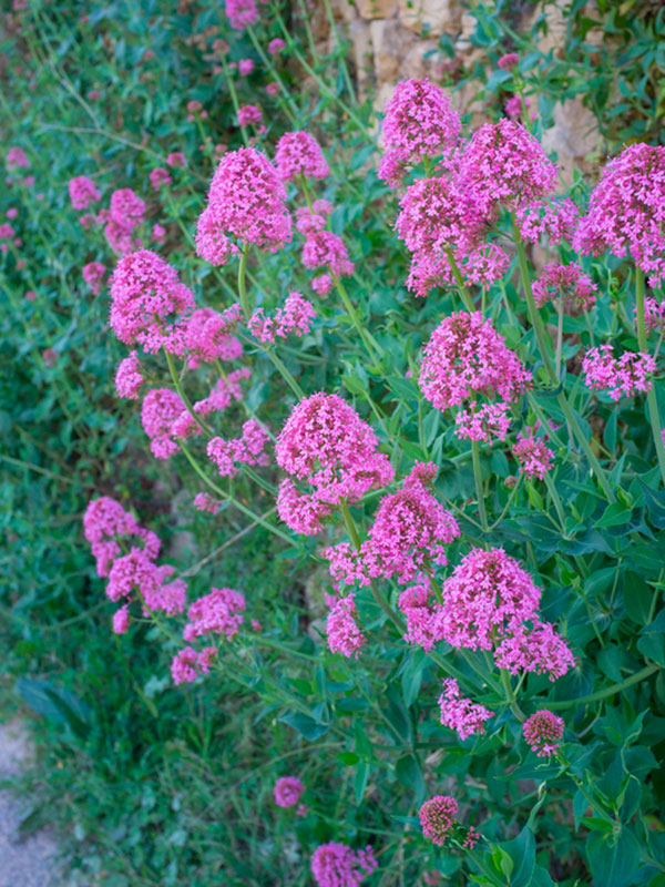 Common Valerian